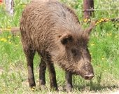 Public presentations feature history and impacts of feral hogs