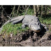 Walk in the Woods Nature Lecture: Alligators of Southeast Texas