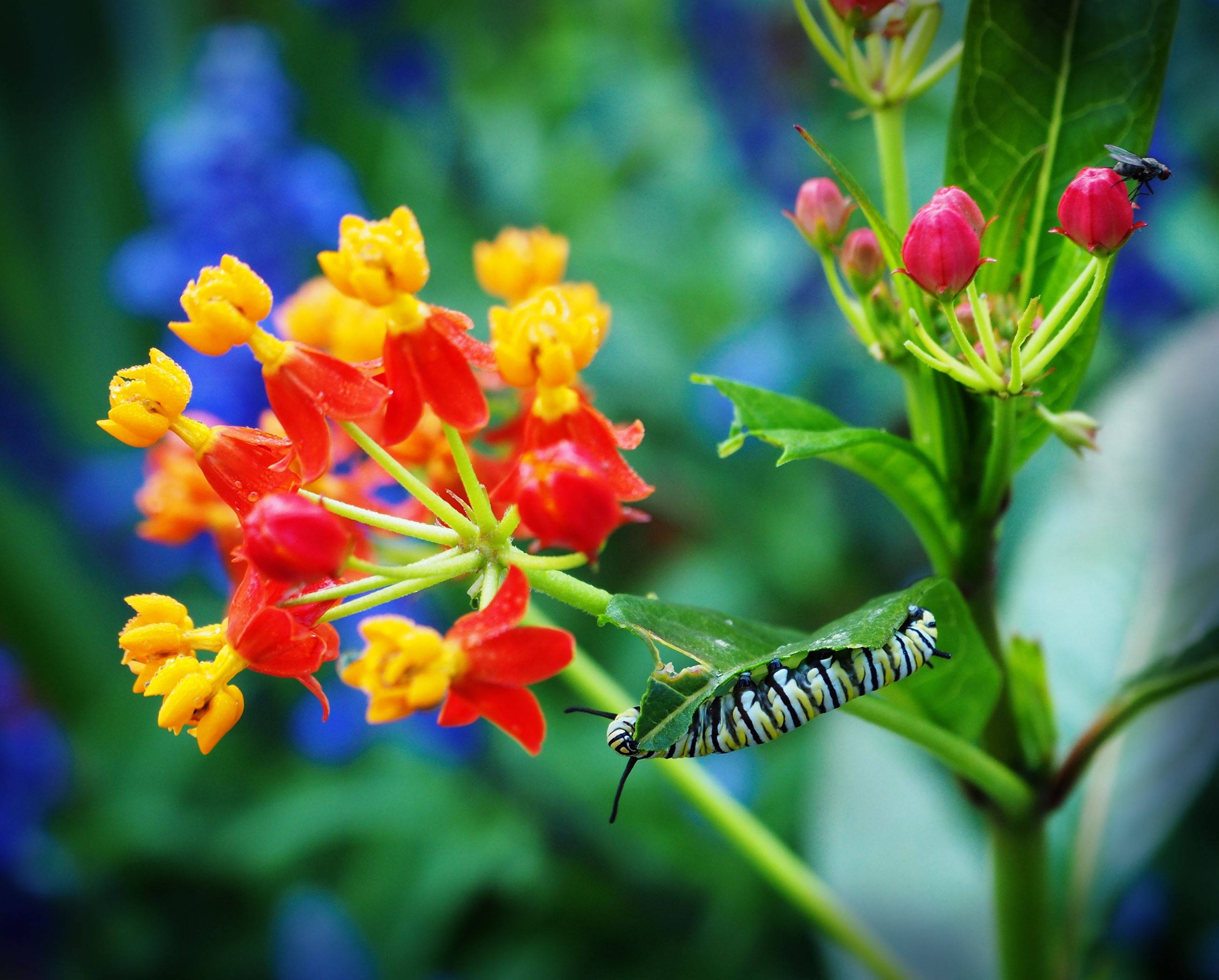 tropical milkweed flower-3347619