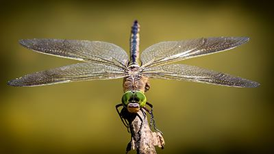 dragonfly for web