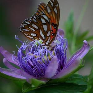 3194 frit on passionflower_thumb_thumb.jpg