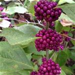 Beautyberry-web_thumb.jpg